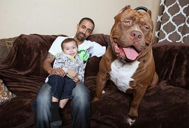 anjing pitbull terbesar dunia hulk