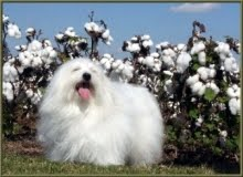 """Bosco"", Surrounded by Cotton Flowers!"