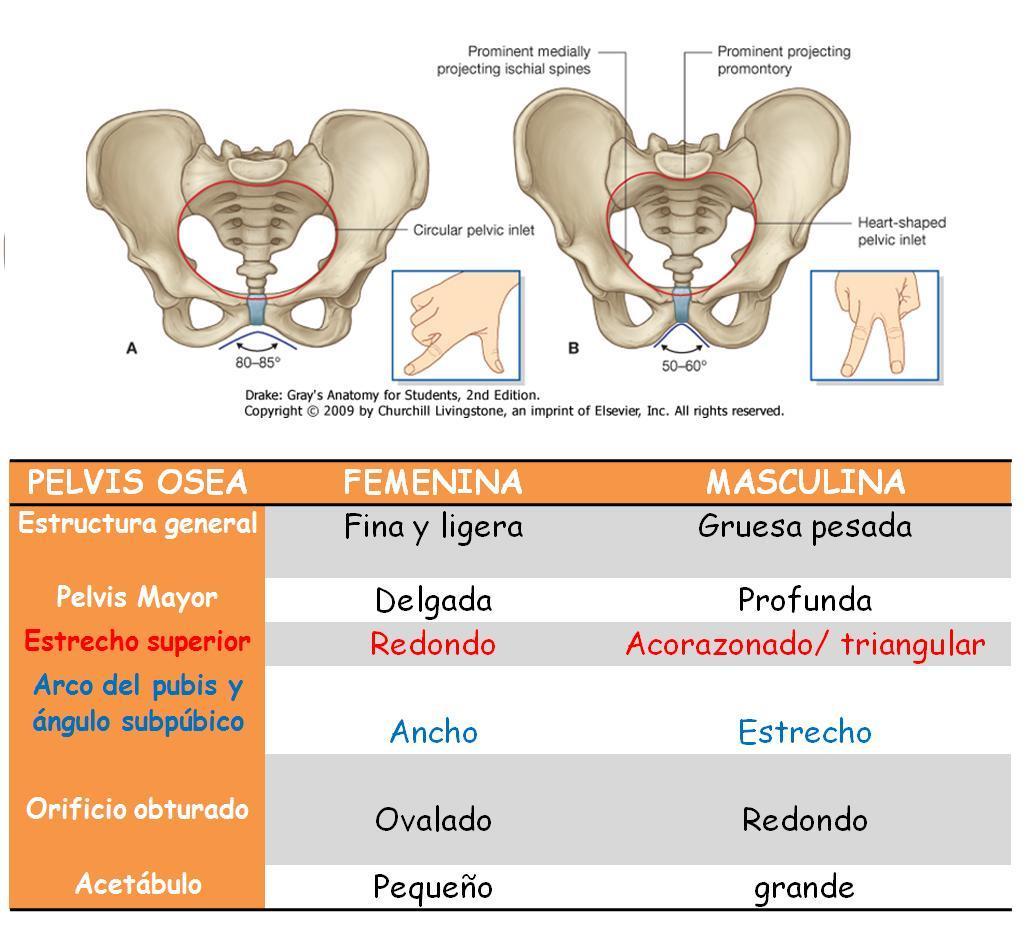 Anatomía UNAM: DIFERENCIAS ENTRE PELVIS FEMENINA Y MASCULINA