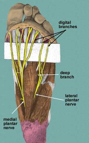 Doctors Gates  Common Sites For Morton U0026 39 S Neuromas