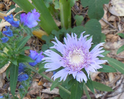stokesia and viper's bugloss