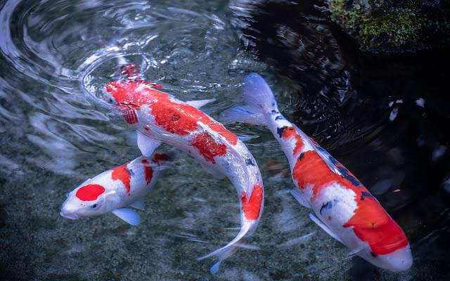 vissen japanse koi karpers wallpaper