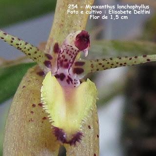 Myoxanthus lonchophyllus do blogdabeteorquideas