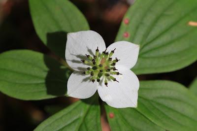 Cornus unalaschkensis - Western Bunchberry