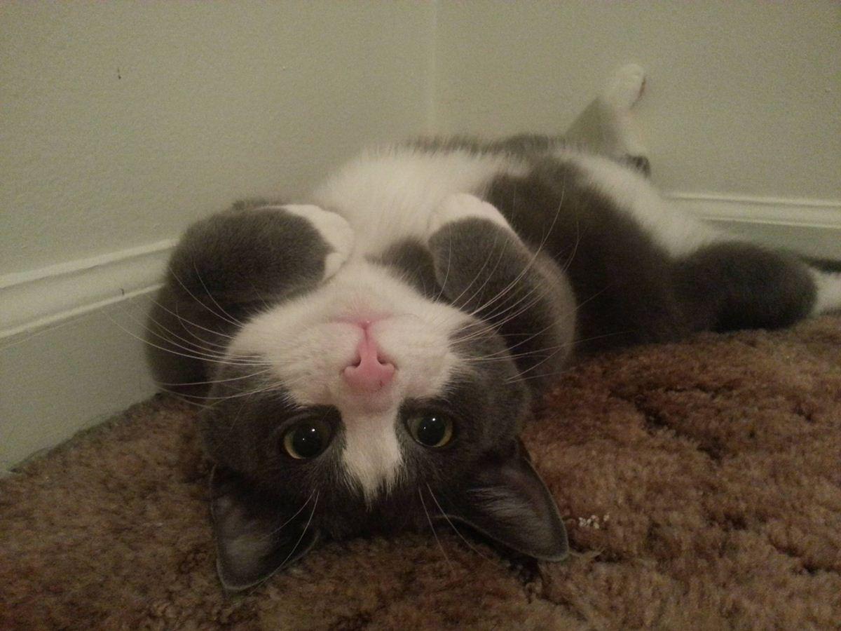 Играет на ковре вверх ногами - прикольные коты 22-11-12