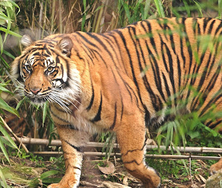 bengal tiger pictures, bengal tiger pics, picture of bengal tiger