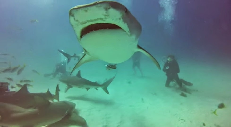 Tiger and Lemon sharks swim with scuba divers at Tiger Beach Bahamas