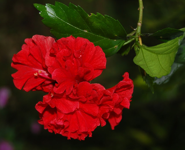 Филиппинская садовая роза