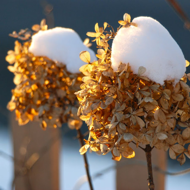 Hydrangea paniculata 'Limelight' dried and capped with snow this January.