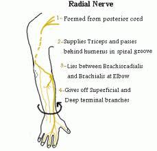 Posterior interosseous nerve  Wikipedia