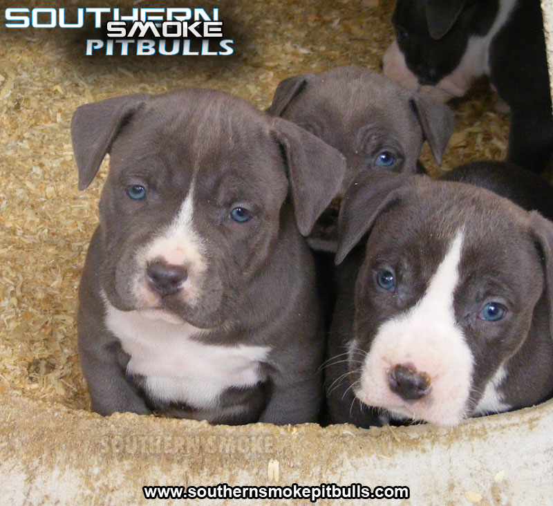 Cute Puppy Dogs: pitbull puppies