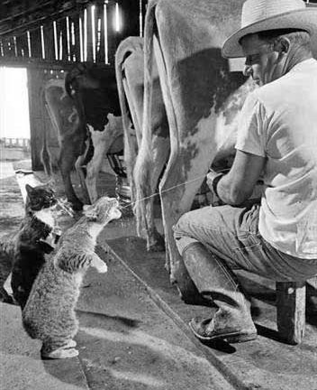 picture-of-cat-drinking-milk-from-a-cow.jpg