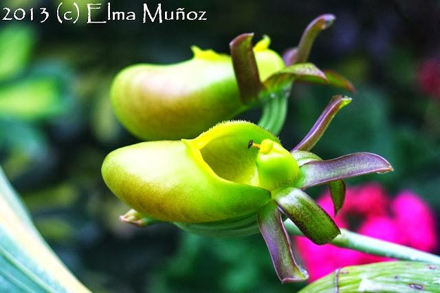 Catasetum incurvum female. Flores de orquideas