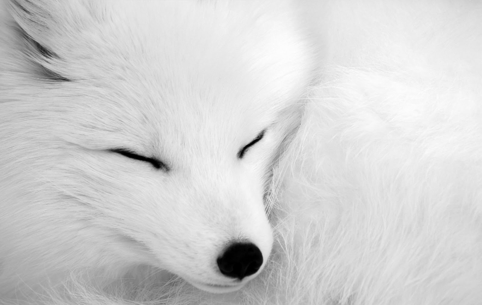 wolf wallpapers | wolf wallpaper | wallpaper wolf | wolves ... - photo#38