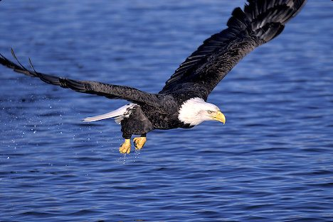 animal wildlife eagle the eagle is a generally large sized bird of ...