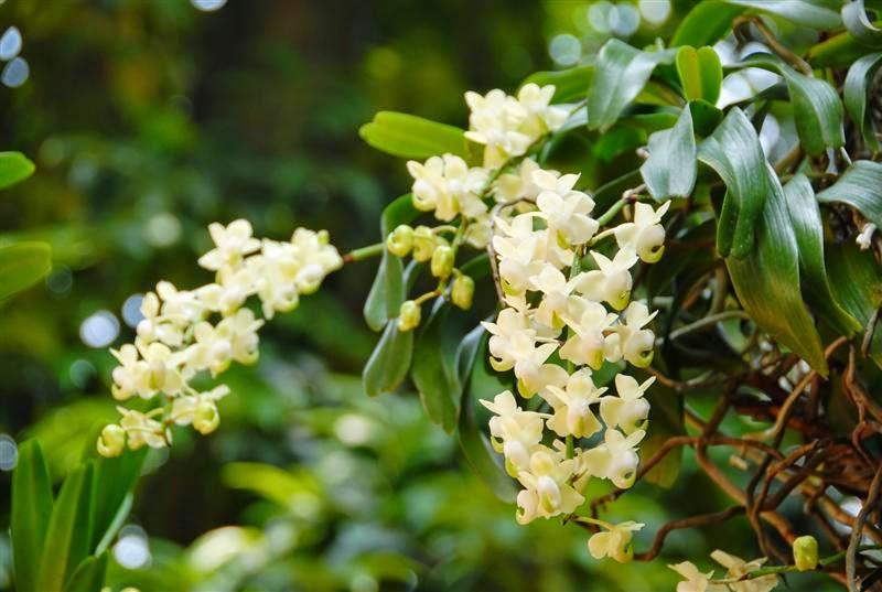 Trong môi trường tự nhiên phong lan Giáng Hương sống bám vào các cành cây, rễ bám vào cành cây và thòng lơ lững trong không khí.
