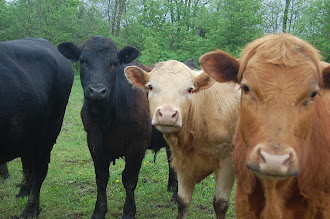 Our Angus Cattle