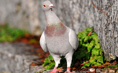 Homing Pigeon Bird Picture