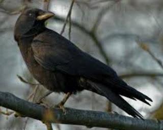Mengetahui Kelebihan Burung Gagak