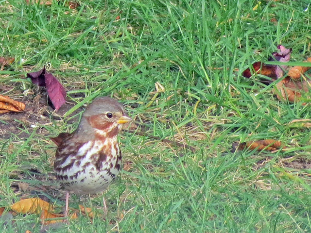 fox sparrow comes up hill