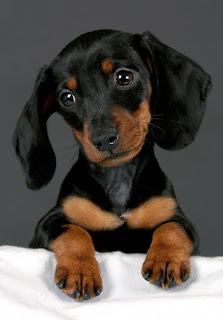 Most Popular Dachshund Names