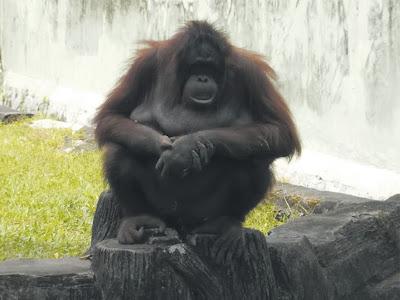 foto orang utan di kebun binatang gembiraloka 02