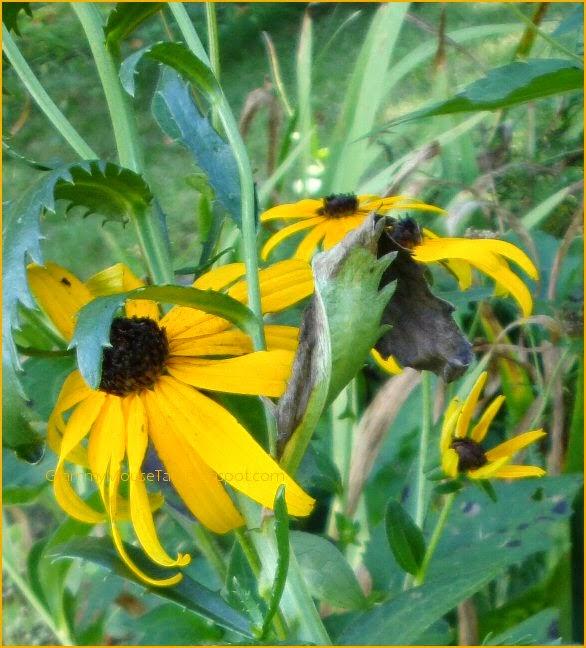 black-eyed susans - rudbeckia flowers - photography