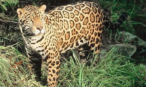 Dangerous Creatures: Jaguar