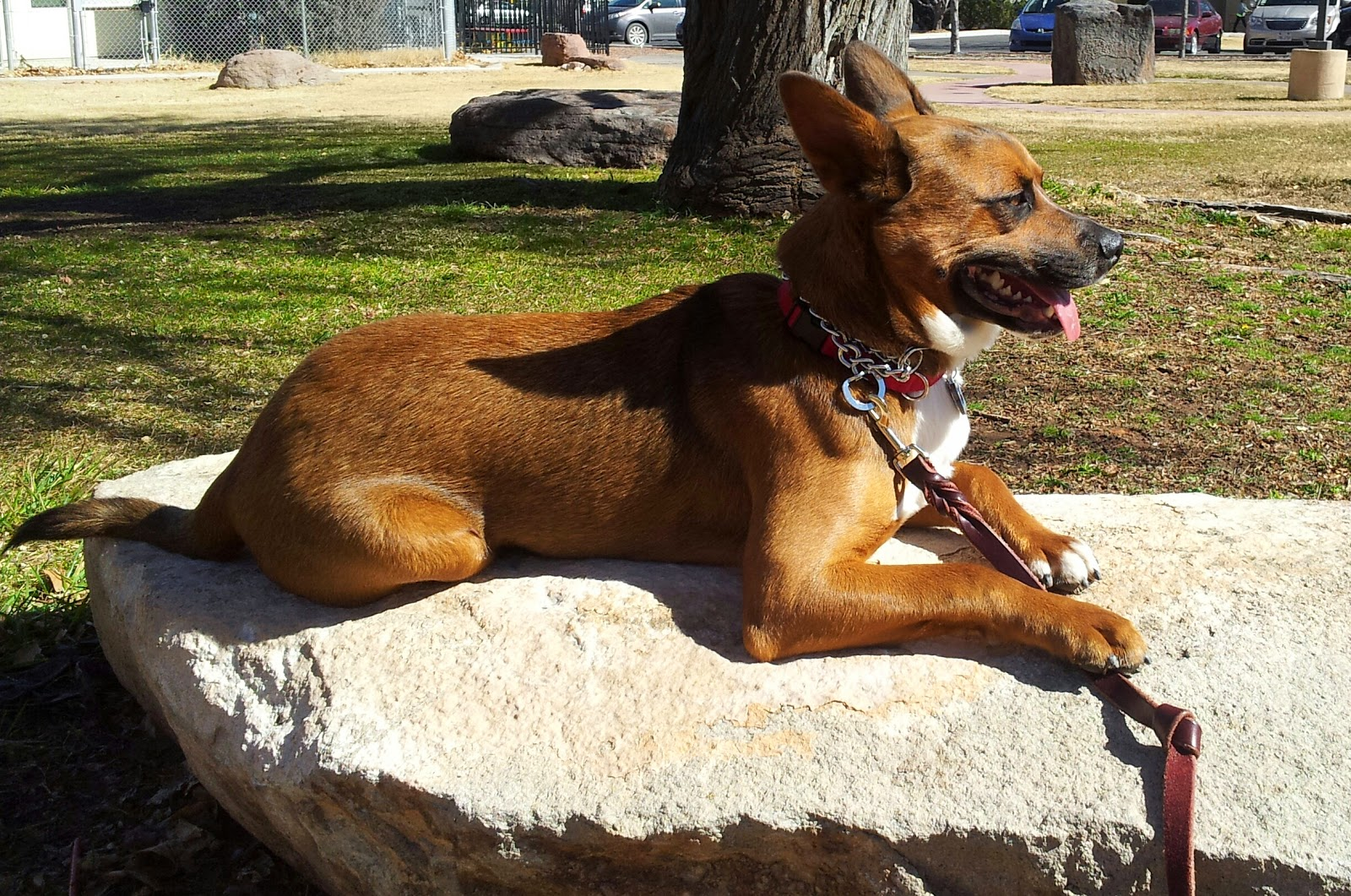 Leashed dog sitting contentedly on a large rock in the sun