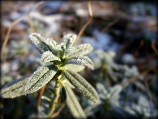 Icy plant in the snow