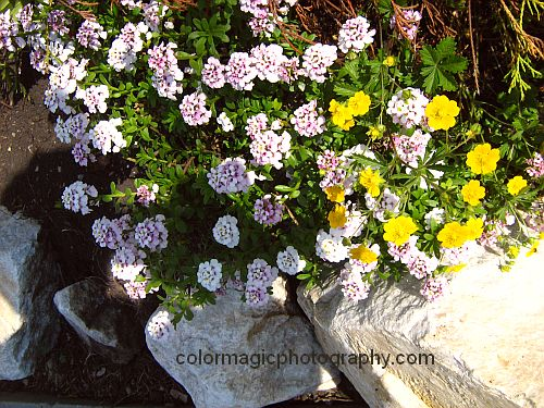 Pink Sweet Alyssum in rock garden