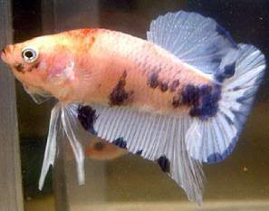 Type Of Betta Fish By Pattern Types