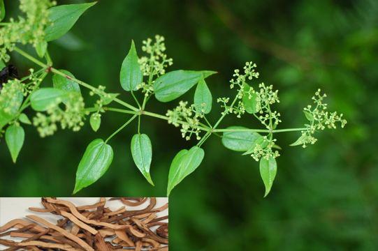Rubia cordifolia L. (Fam. Rubiaceae)