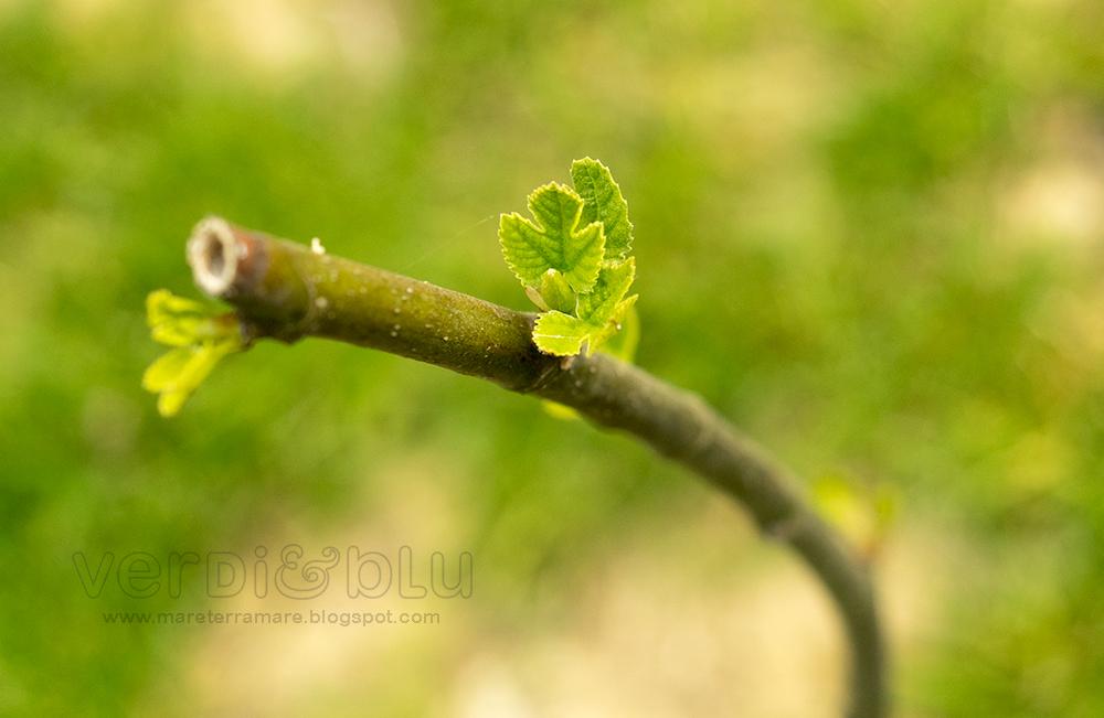 Fico piombinese - Ficus carica
