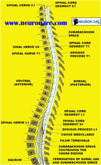 Spinal Cord and Spinal Nerves PPT