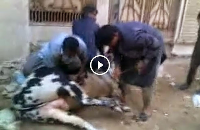 BABA'S DANGEROUS BULL EID QURBANI 2014 facebook, BABA'S DANGEROUS BULL EID QURBANI 2014 pics,ow eid 2014, qurbani in pakistan, angry cow videos,