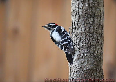 Red House Garden Woodpeckers Of North Carolina