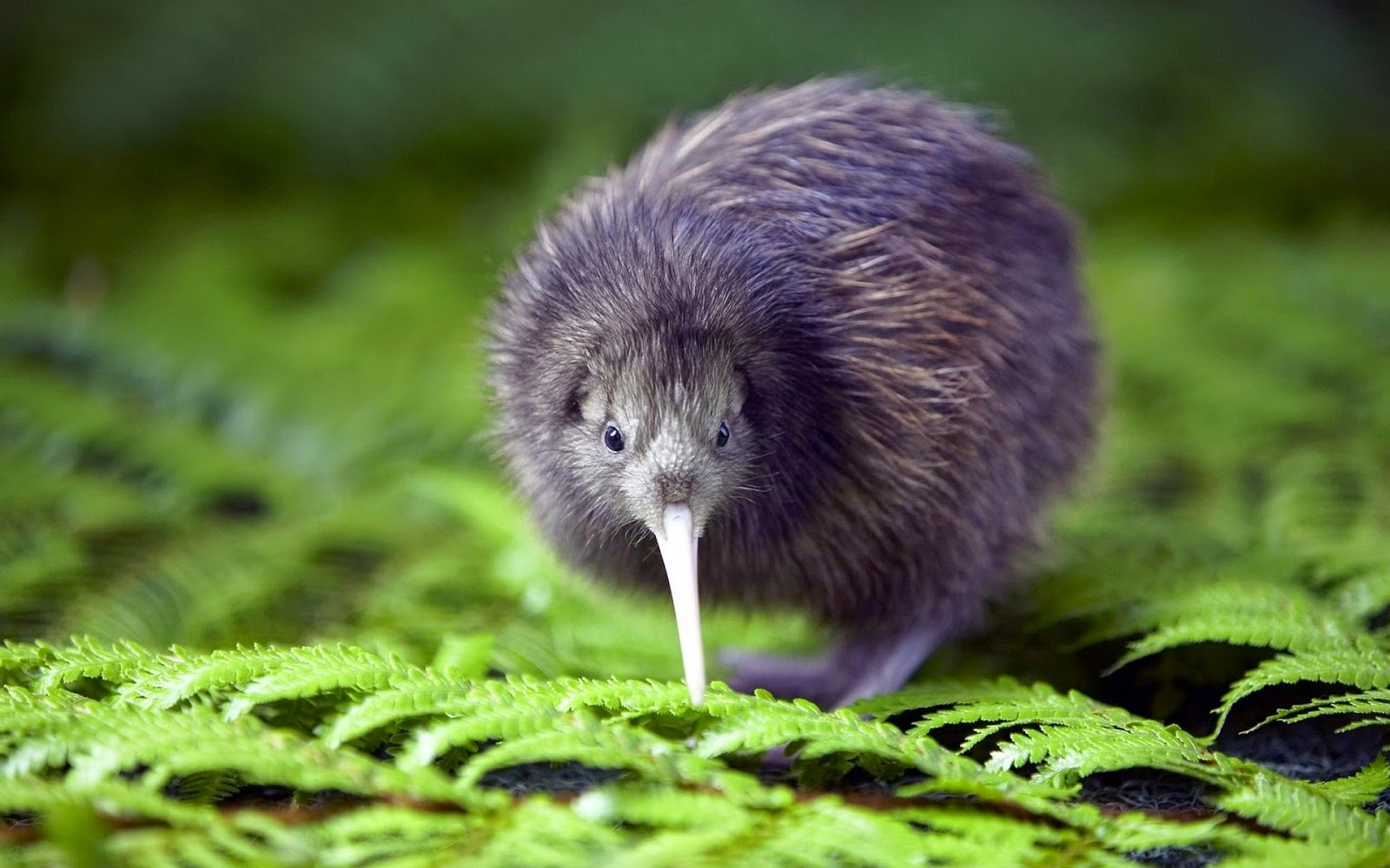Kiwi bird is the only wingless bird in the world