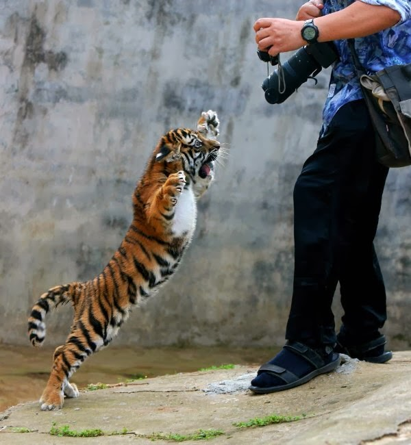 Funny animals of the week - 7 February 2014 (40 pics), cute baby tiger attacks photographer