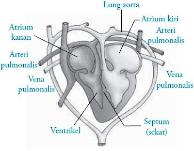 Organ jantung pada kadal