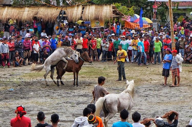 horse fighting in lake sebu i love south cotabato
