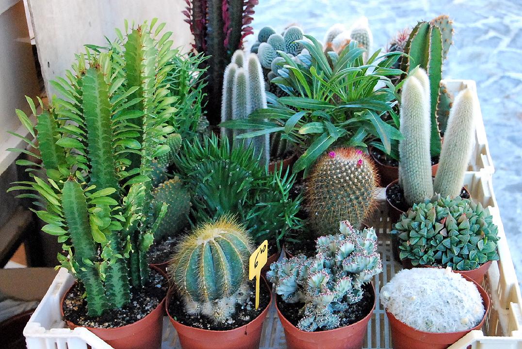 Fotos de flores cactus con flores for Clases de cactus