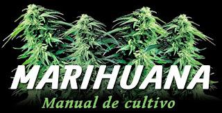 como cultivan marihuana los que saben
