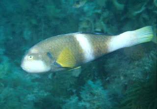 pez loro de cuello azul Notolabrus tetricus
