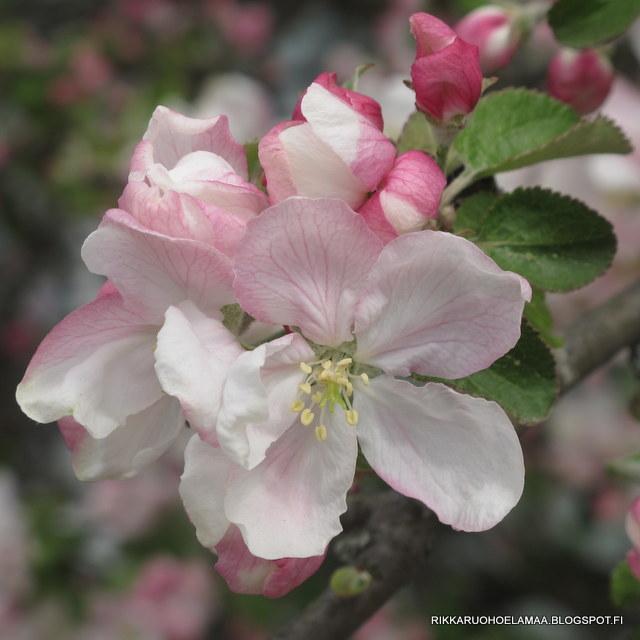 Rikkaruohoelämää -puutarhablogi