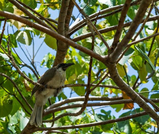 интересные птицы PHILEMON CORNICULATUS птицы Австралии