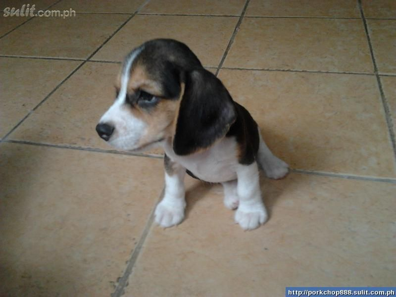Must see Wisconsin Beagle Adorable Dog - 011345656_0113199345c638fd22e1fe53913ea6087a022922162085a2b  Perfect Image Reference_6952  .jpg