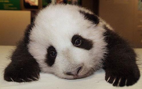 Fotos de osos: Osito Panda muy tierno y amoroso