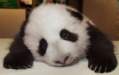 osito panda tierno