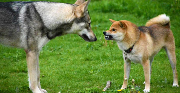 Un chien grogne sur un autre
